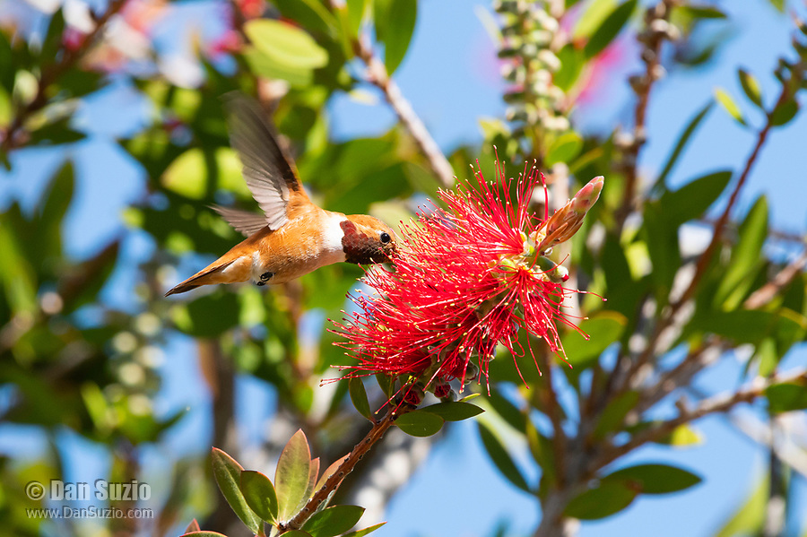 Male Rufous Hummingbird, Selasphorus rufus, feeds from a Bottlebrush flower, Callistemon sp., at Sacramento National Wildlife Refuge, California