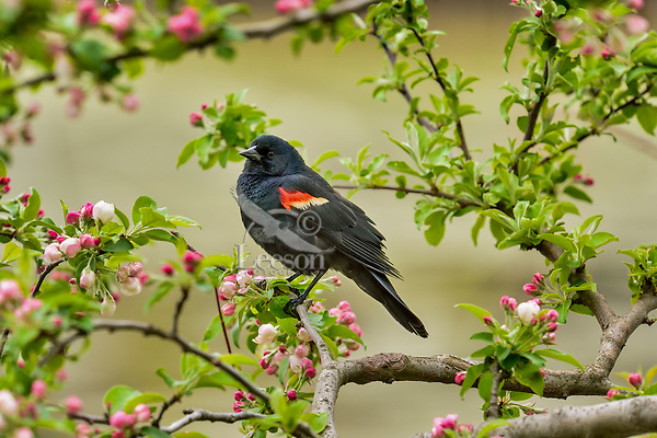 Red-winged Blackbird (Agelaius phoeniceus) male perched in crabapple tree.  Great Lakes Region.  May.
