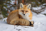 A red fox snuggles into it tail to keep warm in Grand Teton National Park, Wyoming.