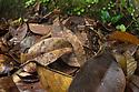 Bornean Horned Frog (Megophrys nasuta), camouflaged amongst dead leaves on forest floor. Danum Valley, Sabah, Borneo. June.