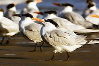 Group of Royal Terns at Refugio
