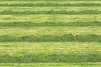 7.5.2021 Chopped and rowed grass waiting for the forage harvester<br /> ©Tim Scrivener Photographer 07850 303986<br />      ....Covering Agriculture In The UK....