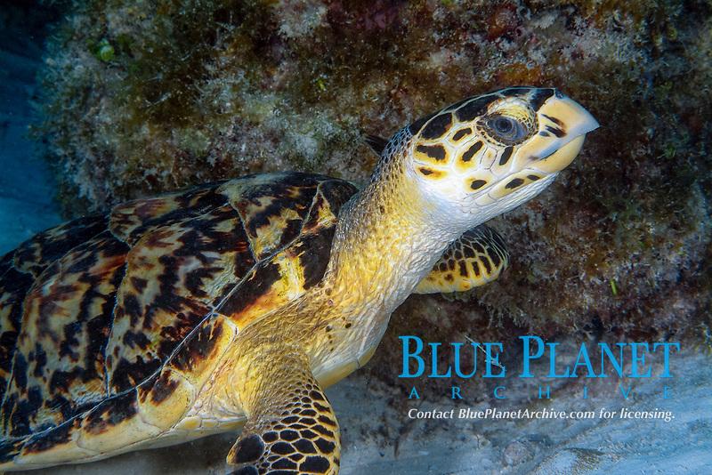 hawksbill turtle, Eretmochelys imbricata, Bimini, Bahamas, Caribbean Sea, Atlantic Ocean