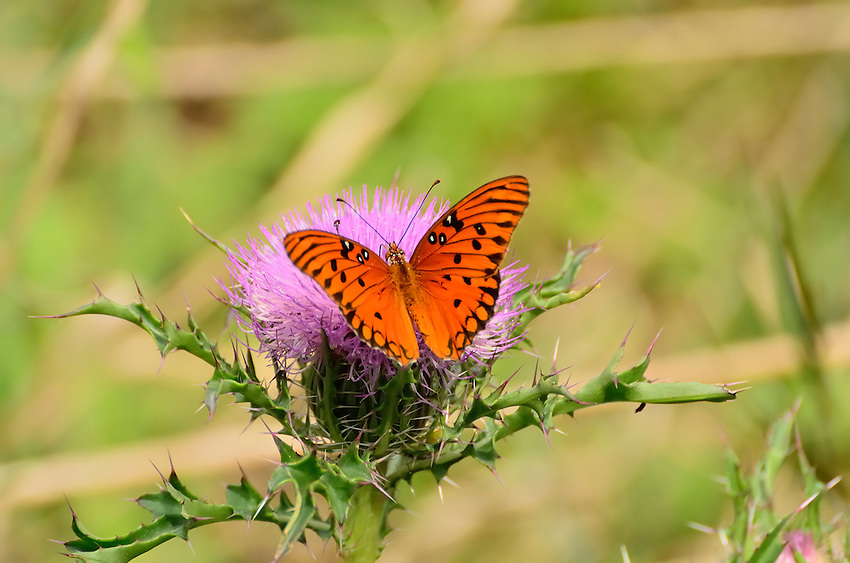 Butterfly on Scotch Thistle, which  iwas ntroduced into the U.S. as an ornamental in the 1800s.