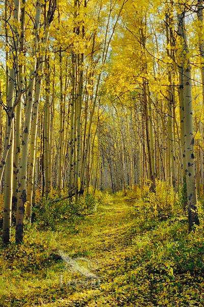 Trail through the aspen trees.  Jasper National Park.  Fall.