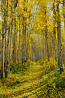 Trail through the aspen trees.  Jasper National Park.  Fall.