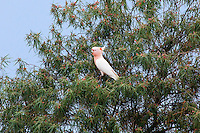 Major Mitchell's Cockatoo, road to Mt Grenfell Rock Art, NSW, Australia