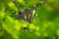 Western Screech-Owl (Megascops kennicottii) fledglings. Multnomah County, Oregon. June..