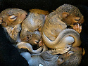 """29/03/16<br /> <br /> Four baby squirrels had a lucky escape when high winds, caused by Storm Katie, destroyed their nest and sent them plummeting down an old chimney breast.<br /> <br /> The two-week-old grey squirrels were found in the bottom of the fireplace by the shocked homeowner.<br /> <br /> *** Full story here: http://www.fstoppress.com/articles/lucky-escape-for-baby-squirrels/    ***<br /> <br /> <br /> She contacted Hart Wildlife Rescue, a charity based in Hampshire which runs a wildlife hospital, where staff have taken the youngsters in.<br /> <br /> The baby squirrels will need round-the-clock care for the next few weeks, before being released back into the wild.<br /> <br /> Hospital manager Charmain Greenland-Jones is in charge of their welfare and said they need three-hourly feeds.<br /> <br /> """"Our staff are taking them home at night to look after them,"""" she said.<br /> <br /> """"We are giving them milk at the moment, but once their eyes open we will start to introduce them to solids food.""""<br /> <br /> """"And then they will be moved to one of our outside aviaries, to learn to climb and basically be squirrels, before being released into the wild, probably here in our own grounds.""""<br /> <br /> EXTRA INFORMATION<br /> <br /> HART Wildlife Rescue is a registered charity which runs a wildlife hospital in North East Hampshire, providing a rescue, treatment and rehabilitation service for wildlife from all over Hampshire and surrounding counties.<br /> <br /> HART also gives advice to vets, the RSPCA and members of the public from all over the country, as well as providing talks and work experience opportunities for students.<br /> <br /> ends.<br /> <br /> All Rights Reserved: F Stop Press Ltd. +44(0)1335 418365   www.fstoppress.com."""