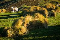 Farmland with sheep and lamb on Otago Peninsula, Coastal Otago, East Coast, New Zealand