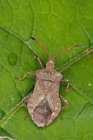 Lederwanze, Saumwanze, Leder-Wanze, Saum-Wanze, Coreus marginatus, Mesocerus marginatus, squash bug