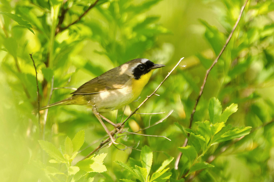 The Common Yellowthroat Warbler is hard to see, let alone photograph, but patience paid off as this tiny bird perched briefly to survey his territory.
