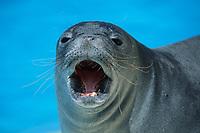 Hawaiian monk seal, Neomonachus schauinslandi, Oahu, Hawaii, USA, Pacific Ocean