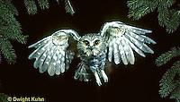 OW07-112z   Saw-whet owl - flying - Aegolius acadicus