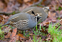 California Quail  (Callipepla californica).  Pacific Northwest.  Male in forground and hen in back.