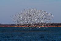 Wild white geese flying over lake Texoma during fall, autumn season, Texas, USA, United States, North America,