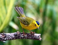 Adult male Wilson's warbler