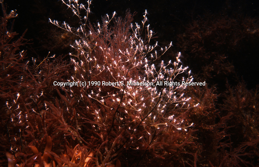 Stick Hydroid colony