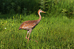 Young sandhill crane walking in a northern Wisconsin meadow.