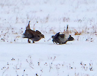 Male sharp-tailed grouse displaying on lek, but no females around so I guess this was just a practice session