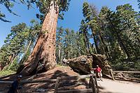 """Mammutbaeume im Kalifornischen Sequoia National Park. Liegend, der """"Fallen Monarch"""", der im 18. Jahrhundert umgestuerzt ist.<br /> 6.6.2017, Sequoia National Park<br /> Copyright: Christian-Ditsch.de<br /> [Inhaltsveraendernde Manipulation des Fotos nur nach ausdruecklicher Genehmigung des Fotografen. Vereinbarungen ueber Abtretung von Persoenlichkeitsrechten/Model Release der abgebildeten Person/Personen liegen nicht vor. NO MODEL RELEASE! Nur fuer Redaktionelle Zwecke. Don't publish without copyright Christian-Ditsch.de, Veroeffentlichung nur mit Fotografennennung, sowie gegen Honorar, MwSt. und Beleg. Konto: I N G - D i B a, IBAN DE58500105175400192269, BIC INGDDEFFXXX, Kontakt: post@christian-ditsch.de<br /> Bei der Bearbeitung der Dateiinformationen darf die Urheberkennzeichnung in den EXIF- und  IPTC-Daten nicht entfernt werden, diese sind in digitalen Medien nach §95c UrhG rechtlich geschuetzt. Der Urhebervermerk wird gemaess §13 UrhG verlangt.]"""