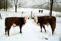 Two hereford cows standing in snow, Missouri USA