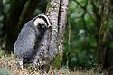 European Badger (Meles meles) foraging at a tree trunk in deciduous woodland. June, Mid Devon, UK.