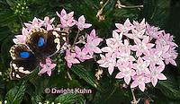 LE45-561z  Blue Pansy Butterfly/Blougesiggie, Junonia oenone oenone, Africa