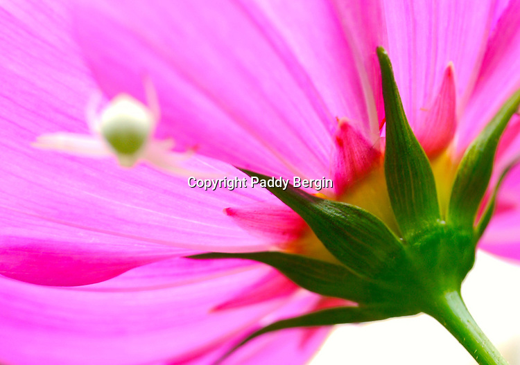 A tiny white spider rests underneath a Cosmos flower.<br /> <br /> Stock Photo by Paddy Bergin