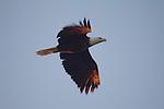 Bald Eagle, Haliaeetus leucocephalus, Puget Sound, Washington State, Pacific Northwest,