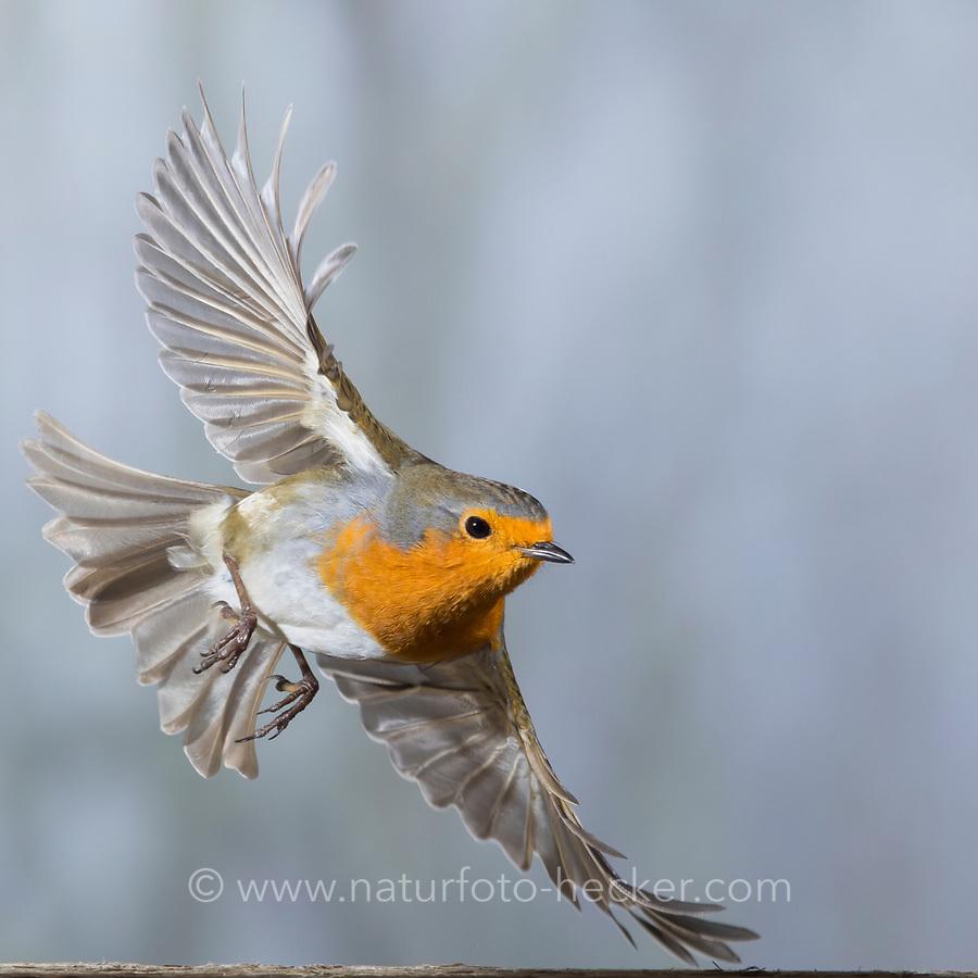 Rotkehlchen, fliegend, Flug, Flugbild, Erithacus rubecula, robin, European robin, robin redbreast, flight, flying, Le Rouge-gorge familier