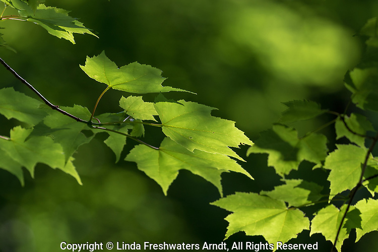 Red maple leaves deep within a northern Wisconsin forest.