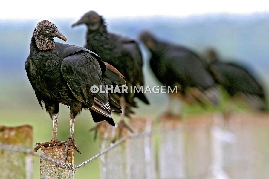 Animais. Aves. Urubus. GO. Foto de Caetano Barreira.