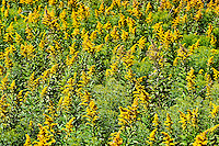 Goldenrod flowers.