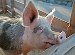 Oesterreich, Salzburger Land, Henndorf am Wallersee: Gut Aiderbichl - Gnadenhof fuer alte und misshandelte Tiere - Schwein, Sau | Austria, Salzburger Land, Henndorf at Waller Lake: Manor Aiderbichl - animal sanctuary for old and abused animals - pig