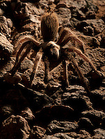 A tarantula found in its burrow outside my tent in the Mule Mountains of California. Returned after a short photo session.