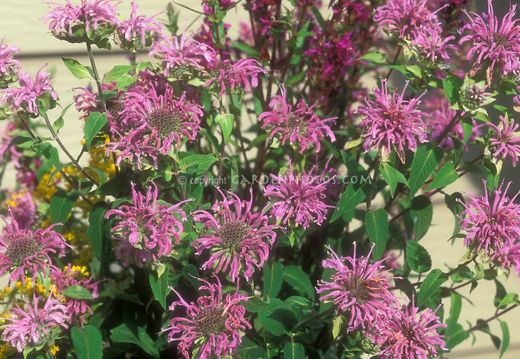 Native American wildflower beebalm, Monarda fistulosa in lavender summer bloom