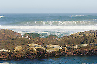 Harbor Seals (Phoca vitulina) basking on rocks at low tide.  Pacific Northwest.  Summer.