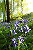 """Hyacinthoides non-scripta (formerly Endymion non-scriptus or Scilla non-scripta) is a bulbous perennial plant, found in Atlantic areas from north-western Spain to the British Isles, and also frequently used as a garden plant. It is known in English as the common bluebell or simply bluebell, a name which is used in Scotland to refer to the harebell, Campanula rotundifolia. In spring, H. non-scripta produces a nodding, one-sided inflorescence of 5–12 tubular, sweet-scented violet–blue flowers, with strongly recurved tepals, and 3–6 long, linear, basal leaves.<br /> <br /> Bluebells are particularly associated with ancient woodland where it may dominate the understorey to produce carpets of violet–blue flowers in """"bluebell woods"""", but also occurs in more open habitats in western regions. It is protected under UK law, and in some other parts of its range.<br /> <br /> Stock Photo by Paddy Bergin"""