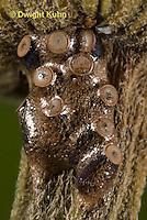 AM05-521z  Ambush bug egg mass on flower stem, Phymata americana
