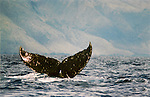A Humpback Whale sounds showing the underside of the tail, exposing it's fingerprint off the Molokai coastline in the AuAu Channel on March 27,1996.© Debbie VanStory/RockinExposures.