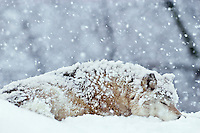 Gray wolf resting (sleeping) during heavy snow.