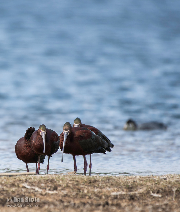 A group of White-faced Ibis, Plegadis chihi, stands in shallow water at the shore of Patagonia Lake in Patagonia Lake State Park, Arizona
