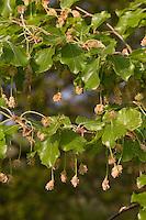 Rot-Buche, Rotbuche, Buche, Fagus sylvatica, Blüte, Blüten im Frühling, Common Beech, Europaen Beech, Fayard, Hêtre commun