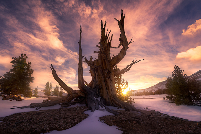 """A particularly photogenic ancient bristlecone extends its """"arms"""" into an explosive sunset."""
