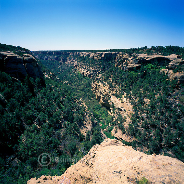 Mesa Verde National Park, Colorado, USA - 'Cliff Canyon' with Utah Juniper (Juniperus osteoperma) and Pinyon Pine (Pinus edulis) Trees