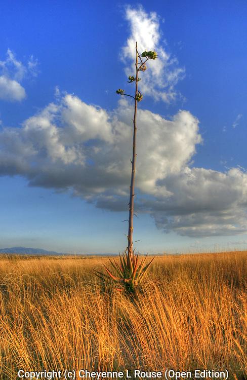 Desert Yucca - Arizona - Sonoita (Open Edition)
