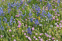 A profusion of wildflowers--common camas, sea blush, yellow monkey flowers, etc.  Early spring, Columbia River Gorge National Scenic Area, WA.