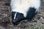 Striped Skunk, close-up of face