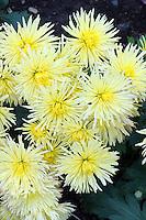Chrysanthemum Sea Urchin, in creamy yellow flowers